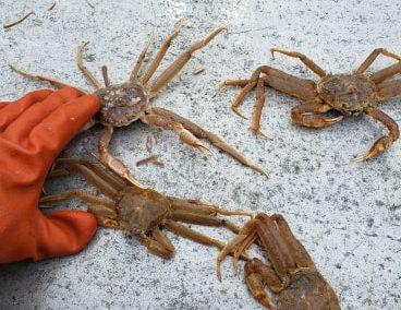 2010 Snow Crab Tagging